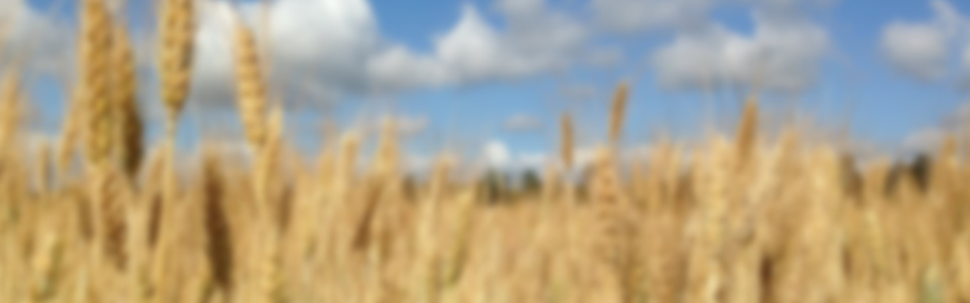 amber-waves-of-grain-blurred